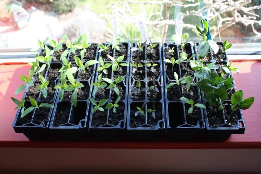 'Plug' plants Mar 2013