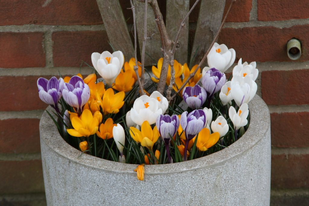 Crocuses 11 March
