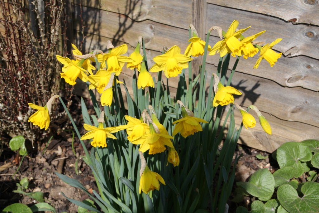 Daffodils in the sun