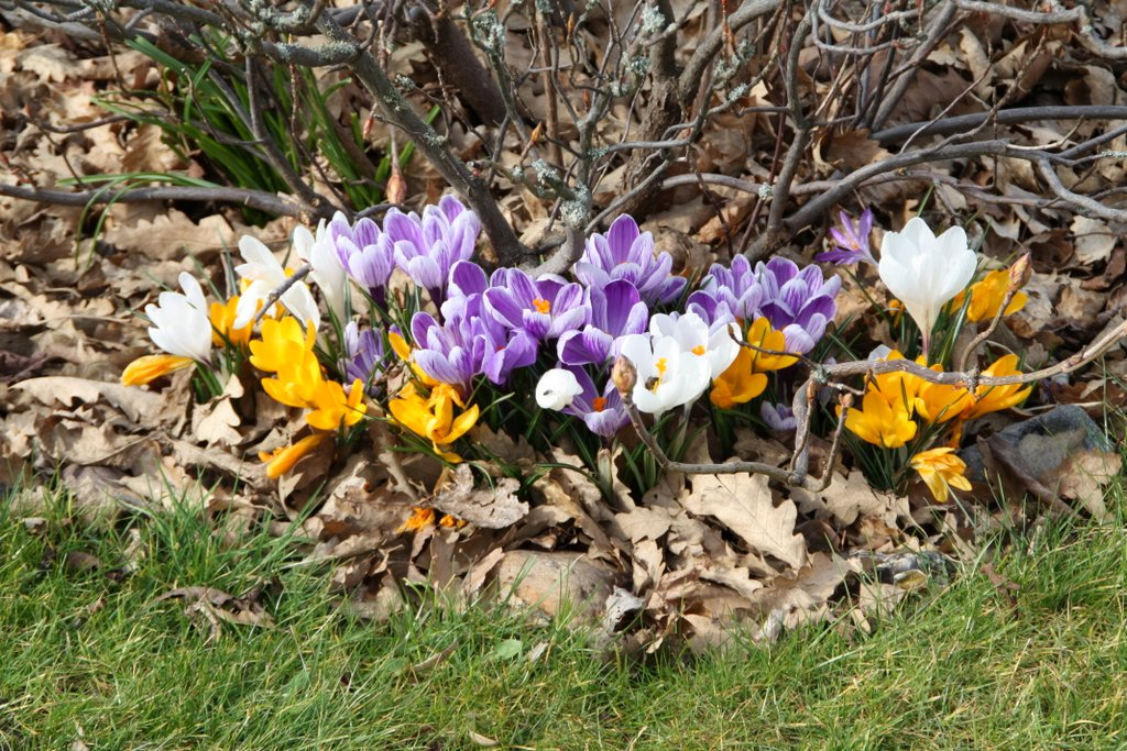 Crocuses among leaf litter