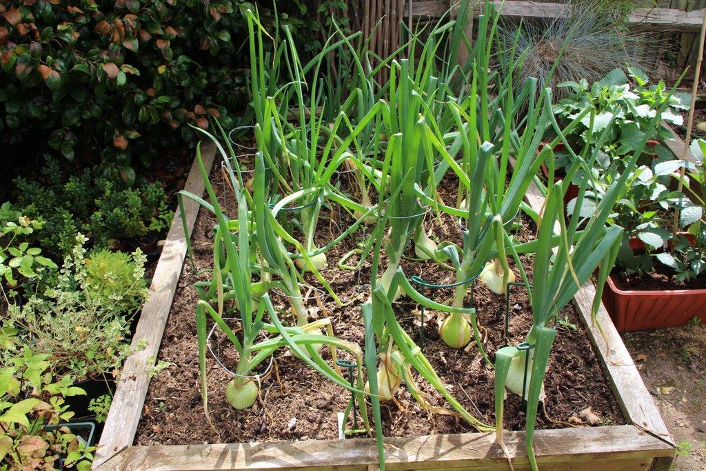 White onions 25 July