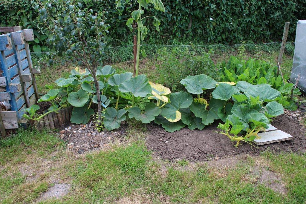 Giant Pumpkin 21 July 2016