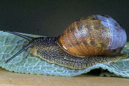 Snail (photo from RHS website)