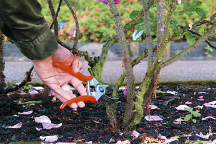 Rose pruning (photo from RHS website)
