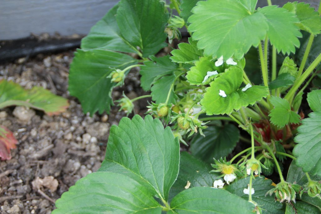 Early Strawberry Fruit
