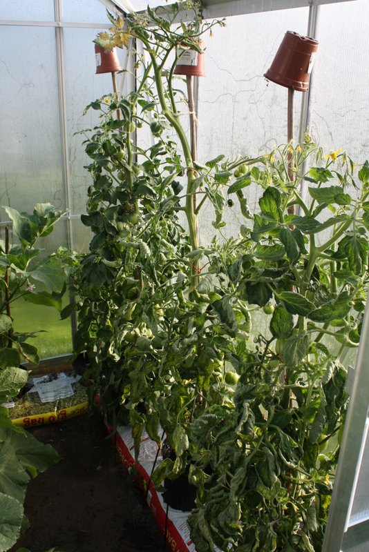 Sturdy tomatoes