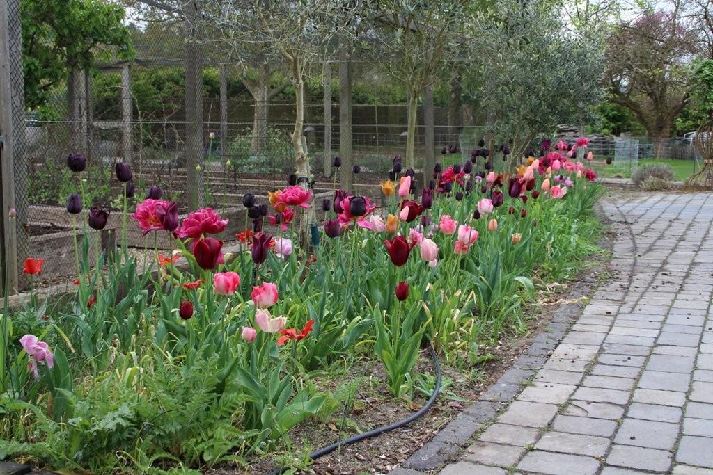 Tulips 28 April 2017