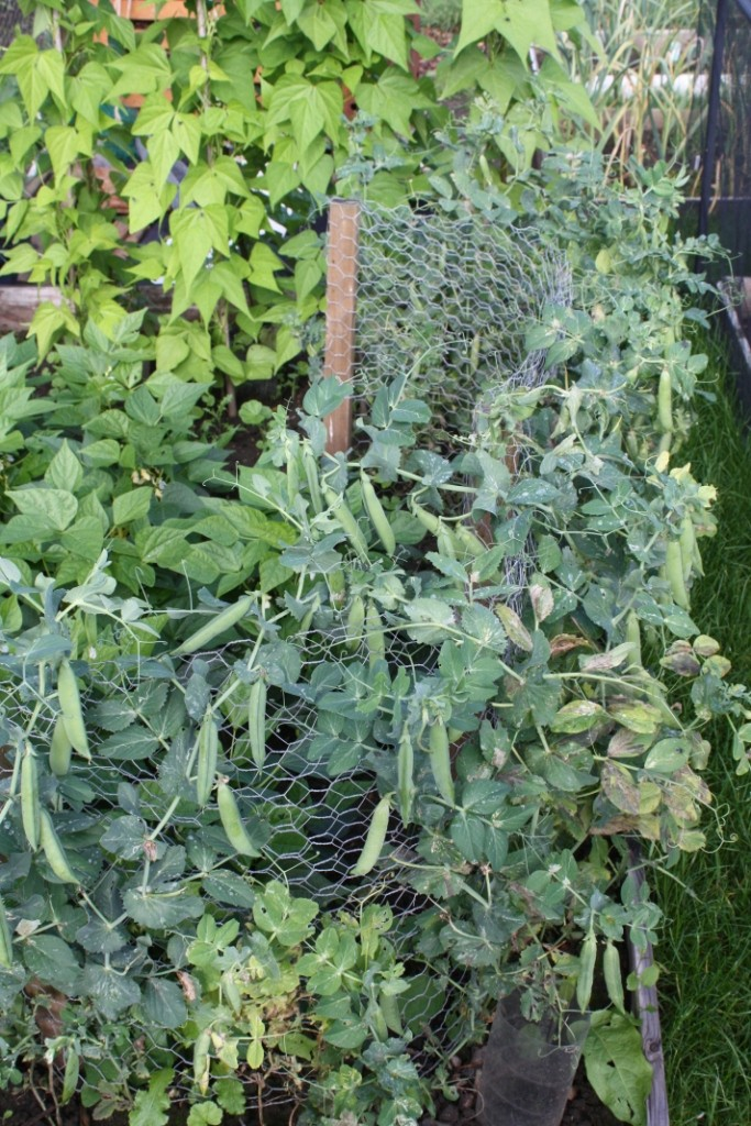 Peas for picking