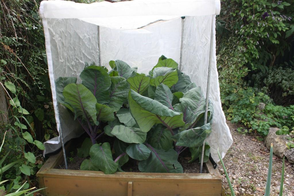 Kalibos Cabbages